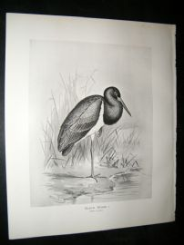 Frohawk 1898 Antique Bird Print. Black Stork